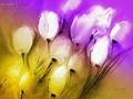 tulpen-im-wind-iii